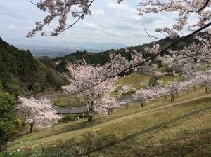 西部霊園の桜
